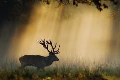 Edelhert; Cervus elaphus; Red deer; Rothirsch;